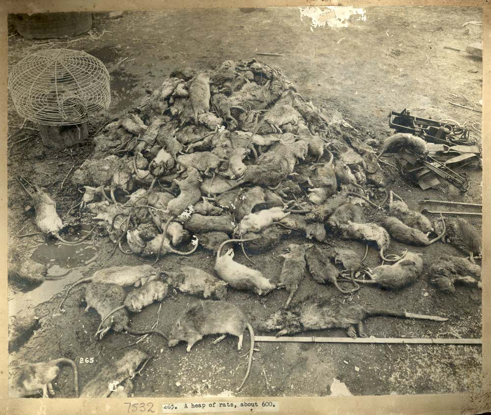 A heap of rats, c. Jul 1900. Sydney, Australia